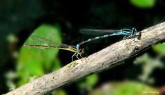 Blue Tule Damselflies Mating (Ethan.Winning) Tags: blue tule damselflies mating heatherfarmpond exactly 10 years ago insects dragonflies canon sx walnutcreekca cethanwinning