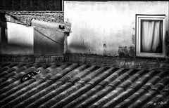 La chatte sur un toit brûlant /  Cat on a hot tin roof (vedebe) Tags: toits ville city rue street urbain urban noiretblanc netb nb bw monochrome fenêtre chat animaux animal roof