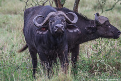 2019.06.07.3053 Cape Buffalo (Brunswick Forge) Tags: 2019 grouped tanzania africa serengeti serengetinationalpark bird birds outdoor outdoors animal animals animalportraits wildlife nature nikkor200500mm summer winter ngorongoro ngorongoroconservationarea ngorongorocrater nikond500 inmotion day sunny cloudy clear sky air