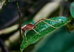 . (arcibald) Tags: nembukrang papua west indonesia insect nimbokrang