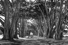 Walking through the Cypress Tree Tunnel (PeterThoeny) Tags: cypresstreetunnel inverness pointreyes northerncalifornia california usa serene summer day tree cypress cypresstree alley road monochrome blackandwhite sony a7 a7ii a7mii alpha7mii ilce7m2 fullframe vintagelens dreamlens canon50mmf095 canon 3xp raw photomatix hdr qualityhdr qualityhdrphotography fav200