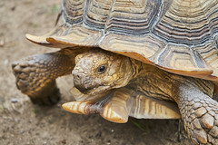 The wisdom of the old (Bohumil Boudník) Tags: sony a7 turtle animal nature