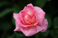 pink rose (Christine_S.) Tags: hybridtearose pinkflower pinkroses flowers canon macro eos japan outdoor garden nature blossom ティファニー raindrops rain waterdrops summer rosegarden ef100mmf28l mygarden