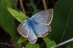 Bläuling (Hugo von Schreck) Tags: hugovonschreck butterfly schmetterling macro makro insect insekt bläuling canoneosm50 tamronsp90mmf28divcusdmacro11f017