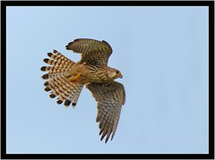 KESTREL (PHOTOGRAPHY STARTS WITH P.H.) Tags: kestrel black hole marsh seaton devon nikon d500 200500mm afs vr