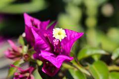 Vacances_0980 (Joanbrebo) Tags: mainau konstanz badenwürttemberg de deutschland canoneos80d eosd autofocus flors flores flowers fiori fleur blumen blossom