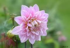 Weekend Dhalia (Eleanor (New account))) Tags: flower dhalia pinkflower bud grimsdyke harrowweald uk bushey nikond7200 july2019 coth5