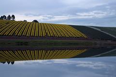 Jonquils (Ranga 1) Tags: abstract composition canon reflections landscape dusk australian australia victoria symmetry symmetric jonquils waterreflections complementarycolours warragul davidyoung ef24105mmf4lusm canoneos5dmarkiii jonquilfarm bluehour farmdam ellinbank