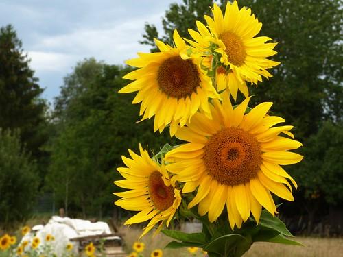 Sonnenblumen Sunflowers