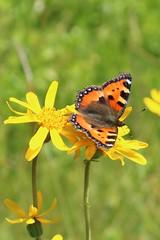 Aglais urticae - Kleine vos - Small Tortoiseshell (Col de la Schlucht, France) (Christian van de Ven) Tags: vlinder butterfly schmetterling mariposa papillon aglais