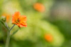 Orange is the happiest colour...Frank Sinatra (judi may) Tags: orange blur flower macro texture soft dof bokeh softness norfolk depthoffield canon5d geum holtgardencentre sliderssunday