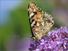 890B6690-134C-4E70-AF09-1DD778586700 (engelsejann) Tags: natuur vlinder distelvlinder