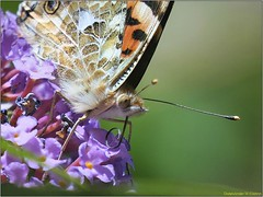 79D1C9BD-E185-49A9-A277-40921EA4221B (engelsejann) Tags: natuur vlinder distelvlinder