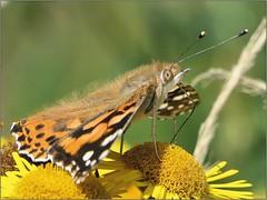 F24AC5E0-722C-4DF4-96BE-584A3C4CF876 (engelsejann) Tags: natuur vlinder distelvlinder