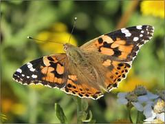 2F2BE867-EAFA-49B6-81BB-A91A9A865DDE (engelsejann) Tags: natuur vlinder distelvlinder