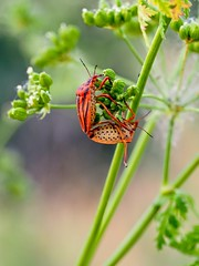 Graphosoma Italicum (Wilhelmus15) Tags: olympuszuiko60mmf28macro olympusomdem5markii matingpairofbugs graphosomaitalicum macroinsectes insectotrovador streifenwanze italianstripedbug httpswwwflickrcomphotos124897061n06