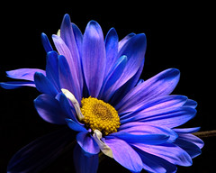 At Peace 1101 (Tjerger) Tags: nature beautiful beauty black blackbackground bloom blooming closeup daisy fall flora floral flower macro plant portrait purple single white wisconsin yellow atpeace natural blue macvro
