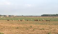 Moutons en liberté...Promenons-nous dans les bois, pendant que le loup n'y est pas !!!  IMG_E7278 (6franc6) Tags: beauvoisin occitanie languedoc gard août 2019 6franc6 vélo