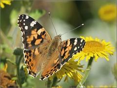 DE1189E7-D293-40DB-AB15-11465E61AABF (engelsejann) Tags: natuur vlinder distelvlinder