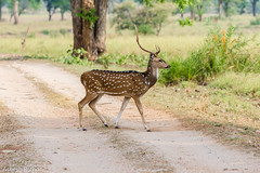 Spotted Deer (asheshr) Tags: 200500mm d7200 deer kanha kanhanationalpark nikon spotteddeer