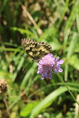 Melenargia galathea - Marbled white - Dambordje (Bad Hindelang, Germany) (Christian van de Ven) Tags: vlinder butterfly schmetterling mariposa papillon marbledwhite dambordje
