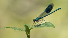 Calopterx splendens male-1086 (jccurd) Tags: wildlife nature odonata damselflies libellen libelule
