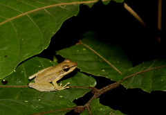 White Lipped Frog (Hylarana raniceps) (cowyeow) Tags: frog malaysia forest nature wildlife herp herps herping amphibian macro asia asian whitelippedfrog hylaranaraniceps whitelip hylarana raniceps