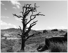 _DSC2377-Enhanced (alexcarnes) Tags: dead tree hen cloud leek staffordshire alex carnes alexcarnes nikon d850 sigma 28mm f14 art