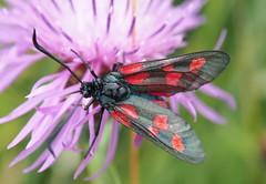 Zygaena (skloi) Tags: zygaenidae widderchen jersey channelisland centaureascabiosa