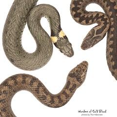 Snakes of Norway v2 (Thor Hakonsen) Tags: grasssnake smoothsnake europeanadder snok hasselsnok huggorm hoggorm buorm natrixnatrix coronellaaustriaca viperaberus