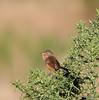 IMG_0833. Dartford Warbler (Sylvia undata) F/Imm