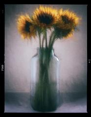 Sunflower Impression (Wilkins Flasher) Tags: sunflowers flowers yellow vase bottle impressionist photography topaz nik dxo paint painterly
