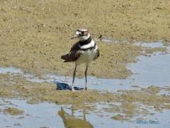 What happened to all the water (naturephoto50) Tags: killdeer charadriusvociferus p1000