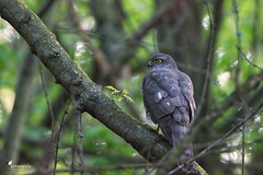 Eurasian sparrowhawk (Picturavis) Tags: vogel bird germany picturavis animal tier sperber deutschland hallesaale accipiternisus eurasiansparrowhawk