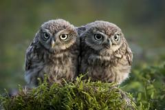 Double trouble - Little Owl siblings (andy_harris62) Tags: littleowl owl siblings nikon nikond850 nikkor300mmf28 wildlifephotography wildlife nature naturephotography bird birdofprey outside outdoors