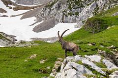KOM (tom.leuzi) Tags: alpen alps berge ch canonef1635mmf4lisusm canoneos6d schweiz suisse switzerland mountains nature alpstein altmann ibex steinbock animal wildlife
