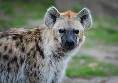 der Hyäne ganz nah (sigridspringer) Tags: natur raubtiere carnivora katzenartigefeloidea gattung crouta herkunftafrika südlichdersahara ivindo äthiopien tierpark friedrichsfelde