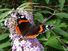 Red Admiral - Vanessa atalanta (joedobinson) Tags: vanessaatalanta redadmiral butterflies butterfly lepidoptera britishwildlife radipolelake dorset