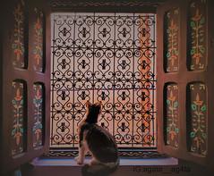 Cat model (agrest555) Tags: animal photography cat closeup cute domestic kitten kitty pet whiskers white adorable color feline fur mammal scratching street art artistic background beautiful artshot windows view colours colour wonderfull kot okno parapet artysta artystycznie sztuka piękno zdobienia painting afryka africa maroco marroco morocco maroko marakesz marrakesh model kotmodel window kociak kotek meow zwierzak zwierzątko w oknie