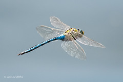 Emporer Dragonfly - Male 502_1027.jpg (Mobile Lynn) Tags: insects inflight nature dragonfly emporer fauna flight flying insect wildlife marlow england unitedkingdom