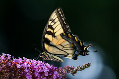 The beauty of summer (Explored) (Fred Roe) Tags: nikond7100 nikonafsnikkor200500mm156eed nature naturephotography national wildlife wildlifephotography animals insect butterfly easterntigerswallowtail papilioglaucus colors outside flickr backyard