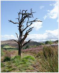 _DSC2418-Enhanced (alexcarnes) Tags: dead tree hen cloud leek staffordshire alex carnes alexcarnes nikon d850 sigma 28mm f14 art