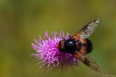 The fly (Silvio Sola) Tags: silviosola fly mosca dittero closeup macro prato fiore flower flight