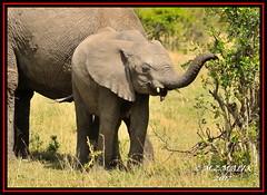 YOUNG AFRICAN ELEPHANT (Loxodonta africana)....MASAI MARA....OCT 2017 (M Z Malik) Tags: nikon d3x 200400mm14afs kenya africa safari wildlife masaimara keekoroklodge exoticafricanwildlife elephants ngc npc