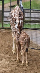 A mother's love (MJ Harbey) Tags: giraffe giraffa animal mammal artiodactyla giraffidae cervuscamelopardalis zsl whipsnade zoo zslwhipsnade whipsnadezoo bedfordshire zslwhipsnadezoo nikon d3300 nikond3300