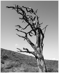 _DSC2412-Enhanced (alexcarnes) Tags: dead tree hen cloud leek staffordshire alex carnes alexcarnes nikon d850 sigma 28mm f14 art