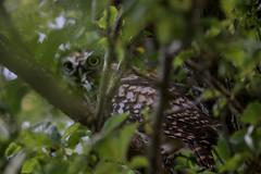 08-08-19 Little Owl (rupeakerman2011) Tags: owl little littleowl bird