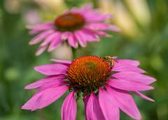 August Buzz (~DGH~) Tags: 2019 alberta august canada edmonton pentaxk50 bees bokeh buzz coneflowers echinacea heat macro smcpentaxdfamacro100mmf28wr ~dgh~ summer