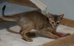 Mookaite (peter_hasselbom) Tags: cat cats kitten abyssinian ruddy usual 11weeksold play hunt game spiral toy tiledfloor doormat flash 1flash 105mm