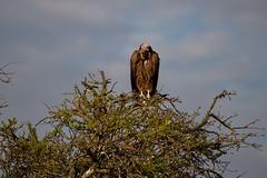 Vulture - EXPLORED (August 11, 2019) (JD~PHOTOGRAPHY) Tags: vulture bird birdofprey birdportrait scavenger wildlife wild wildbirds africanwildlife africa kenya nature masaimara canon canon6d